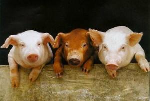 """Grippe-party chez les cochons. """"Jusqu'ici tout va bien"""""""