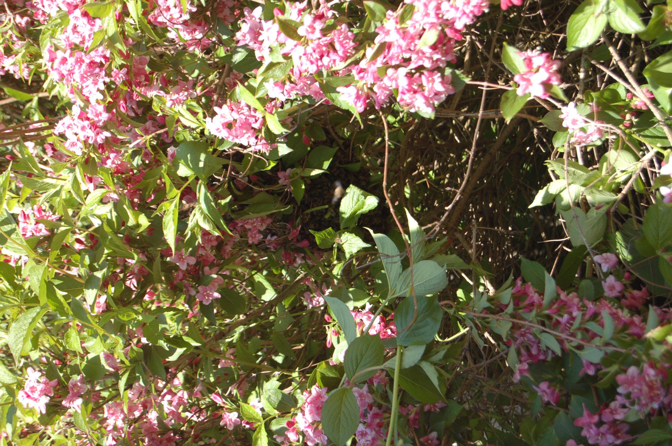 Bzzz font les abeilles que faire quand on trouve un nid d for Trouver de l or dans son jardin